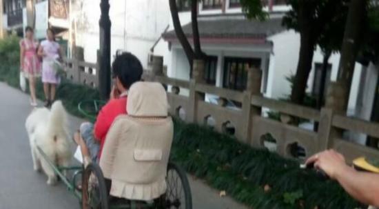 """宠物店老板训练萨摩耶 马路上演""""狗拉车"""""""