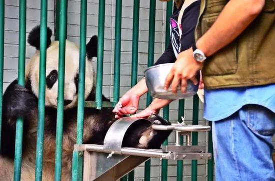 专职护理医生米莉娅姆在模拟抽血,每天进行这种模拟训练是为了到真正需要时熊猫可以更好地配合。