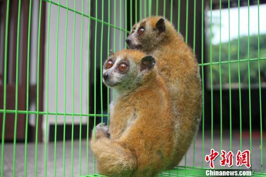 国家一级保护动物蜂猴落难 云南警民救护