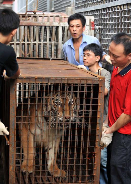 """资料图:2010年9月6日,一只孟加拉虎被顺遂地赶进搬迁运输用的笼中,两日后它将入住长沙生态动物园的""""新家""""。 新华社记者赵众志摄"""