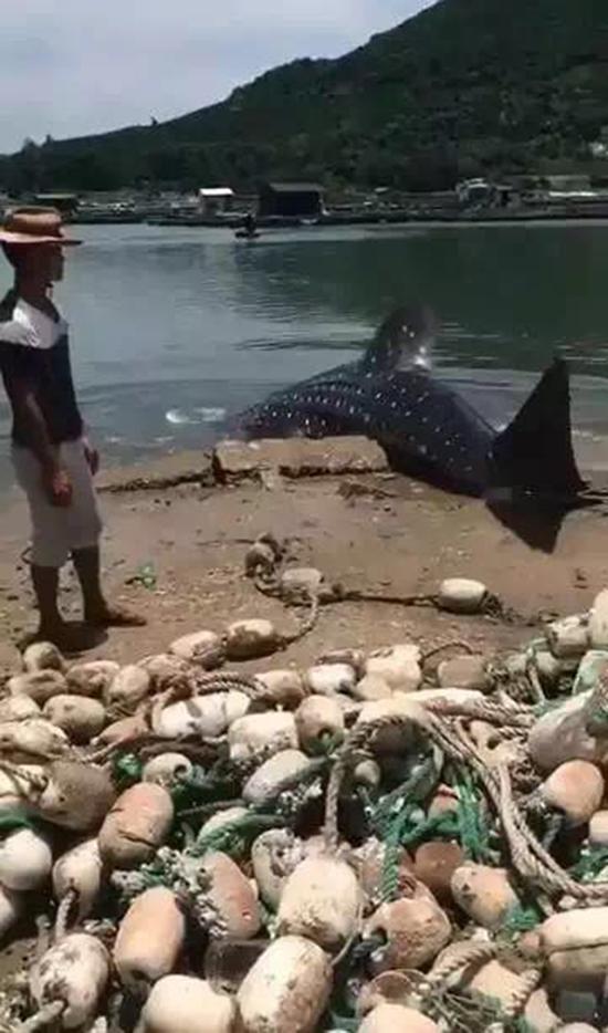 7月29日上午9时许,万宁市东澳镇新华村三名渔民用货车拖曳一头活体鲸鲨上岸,然后出售。