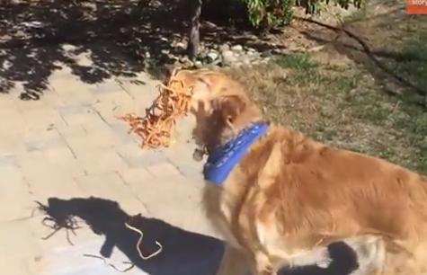 主人训练爱犬接东西能力 结果金毛各种被打脸