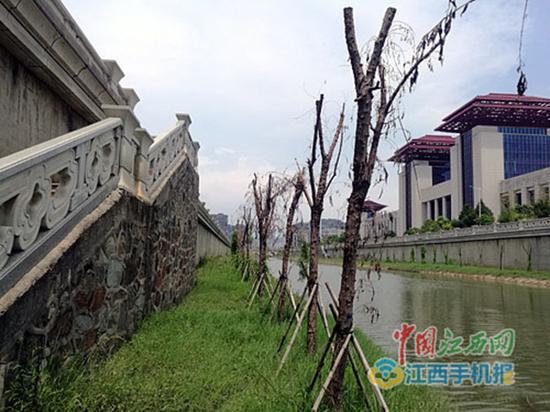 红谷南大道东方水系旁枯死的景观树苗。 中国江西网 图