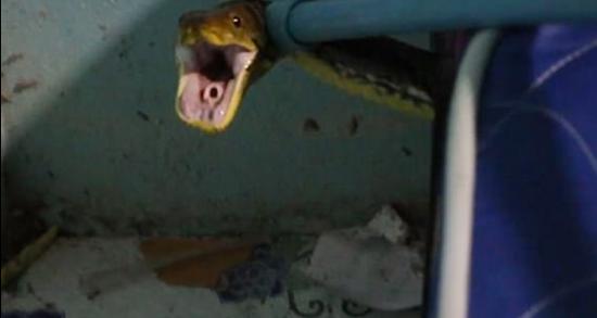 家中小猫被咬死 女主人发现3米长蛇藏身床下