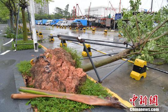 深圳渔人船埠路边树木被微风刮倒、连根拔起。 陈文 摄