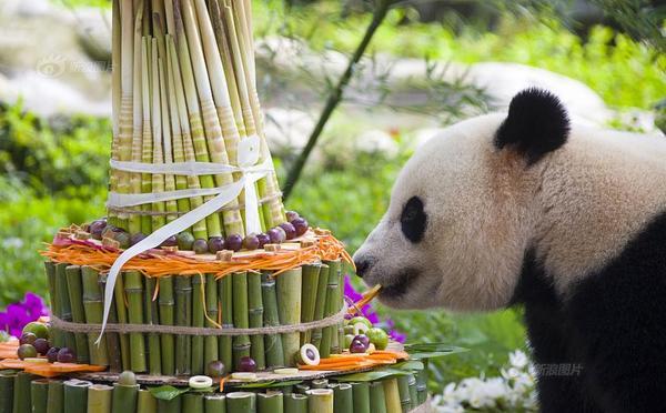 """海归大熊猫""""宝宝""""过四岁生日"""