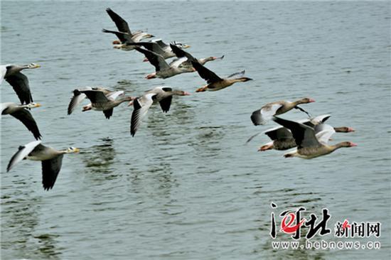 沧州南年夜港湿地的鸿雁跟斑头雁在维护区自在翱翔。 本文图均为 河北消息网 材料图