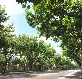 """上海首条""""樱木花道""""出炉 市级林荫道增至198条"""