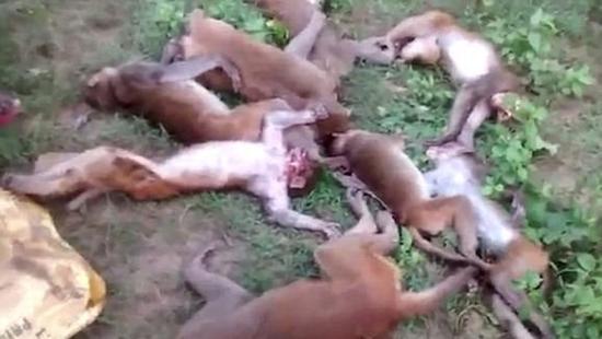 印度森林里十几只猴子死亡 (图片来源:印度时报)