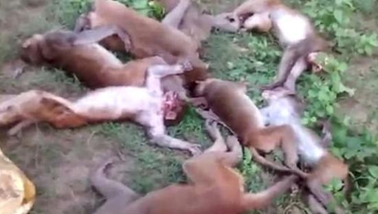 离奇心脏病发 印度12只野猴疑被老虎叫声吓死