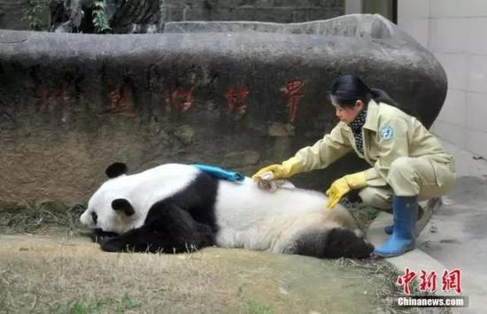 图为巴斯的饲养员施飞宁为它擦洗身子。 中新社记者 吕明 摄
