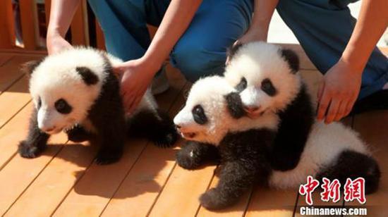 征名的三只熊猫。中新网 图