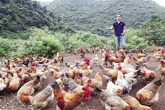 在大山里,只要黄一晨一声招呼,满山遍野的鸡群立刻出现在他眼前。南宁晚报 图