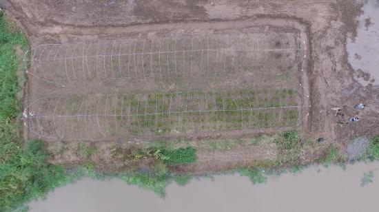 去年底移植过来的两大棚红树。 本文图片均为 澎湃新闻记者 赖鑫林 图