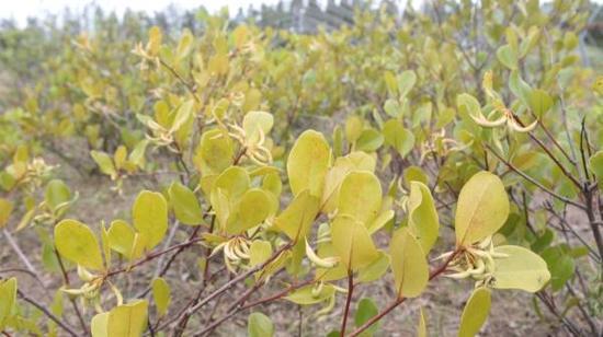 桐花树筛选到第三代,已基本适应上海冬天的低温。