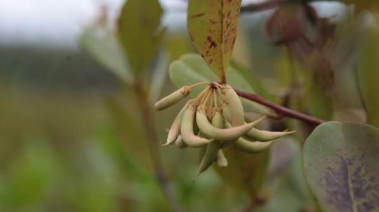 桐花树已繁衍三代,最近又结了种子。