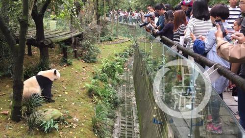 游客在都江堰熊猫谷观看大熊猫。 本文图片 上游新闻