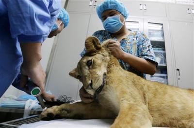 小狮子在准备间等待手术 摄影记者 刘海韵