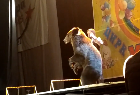 惊险!俄马戏团一棕熊表演期间失控突袭驯兽师