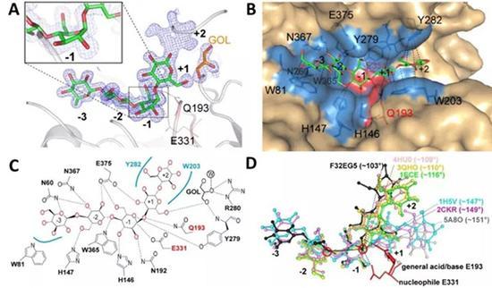图2 失活突变体F32EG5-E193Q与纤维寡糖底物共结晶。
