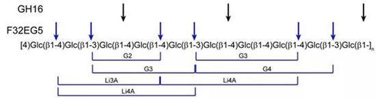 图1 β-葡聚糖酶切断β-葡聚糖的糖苷键断裂位置(蓝色箭头)。黑色箭头所指是常规的16家族酶断键方式。