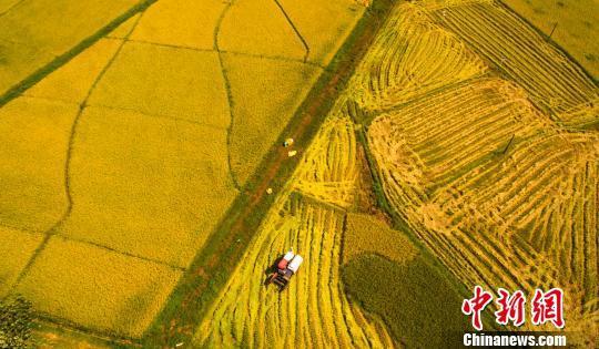 资料图:水稻收割。 赵春亮 摄