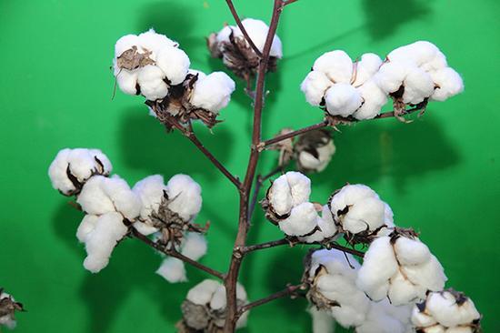 2015年11月25日,北京,农业部展示高科技农业成果。转基因棉花。视觉中国 资料