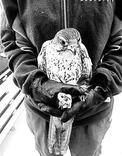 猎隼在北京猛禽救助中心接受救助。 本文图片 北京青年报