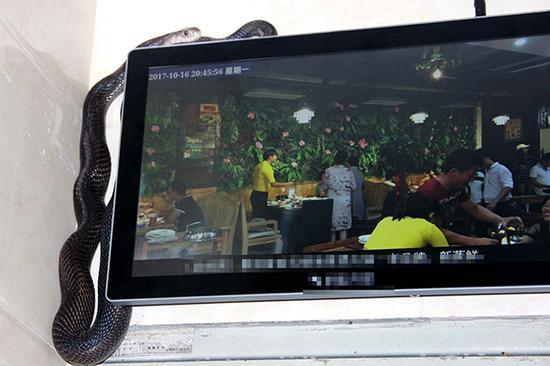 盘踞在广告显示屏上方的眼镜蛇。景洪市森林公安局 供图