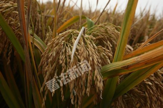 世界纪录超级稻启动收割 农民笑称:太多了
