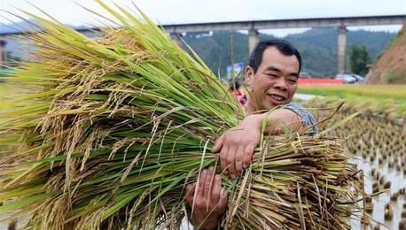 广西三江:再生稻迎来丰收季