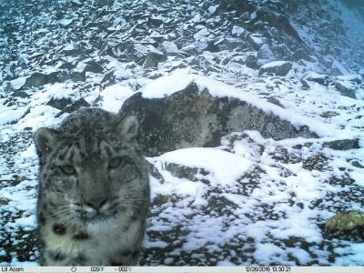 在此次中国最大规模雪豹调查中所拍摄到的雪豹图像。