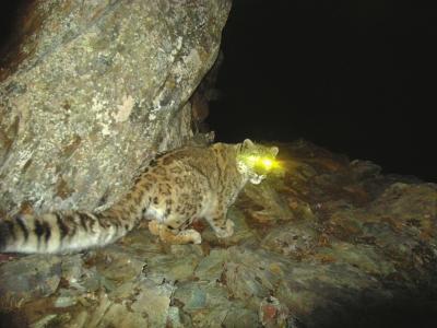 卧龙保护区梯子沟安装的红外线相机,在2009年初第一次拍摄到的雪豹。