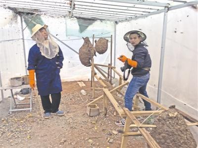 洪峰(左)在检查葫芦蜂的进食情况。