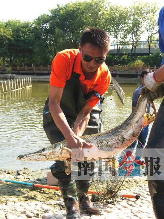 工作人员捕获鳄雀鳝。记者王剑 摄