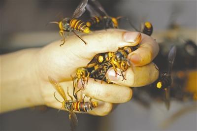 公蜂无毒,洪伟把它们抓在手里玩。