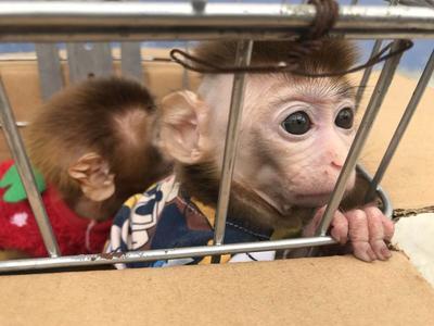 只因猕猴太可爱 夫妻俩竟诱捕偷带回家当宠物
