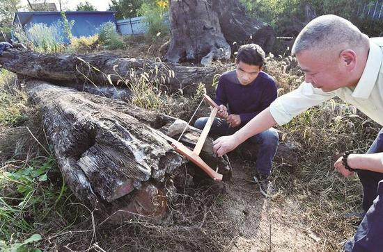 图为:专家检验木头横截面。