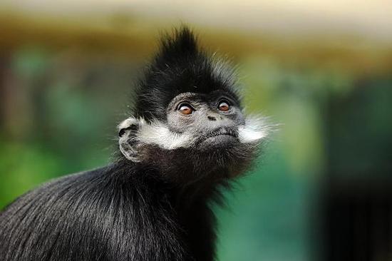 图为黑叶猴。 图片来自网络
