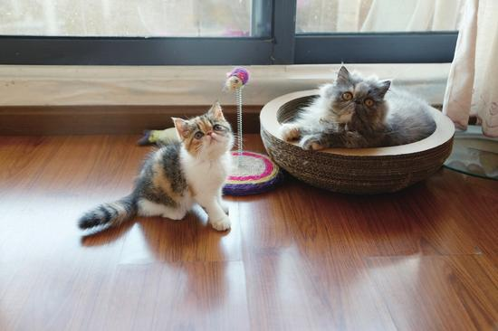 家有两只猫眯