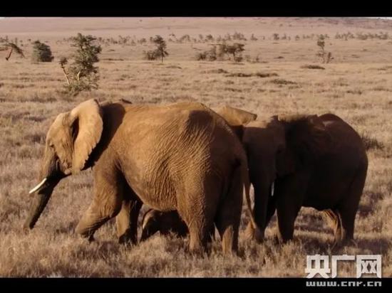 非洲草原上的大象