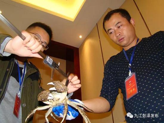 工作人员测量参展企业的螃蟹大小