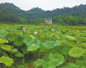 举办荷花节让村民脱贫致富,曹琼蓉的遗愿正在逐步实现