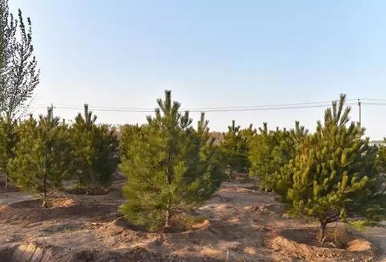 已种植的树。