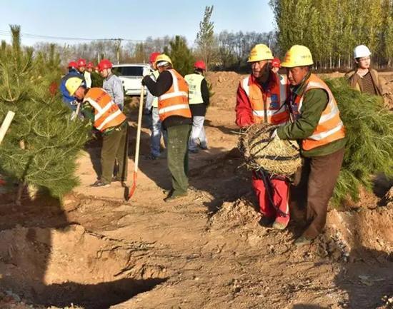 工作人员按流程种植苗木。