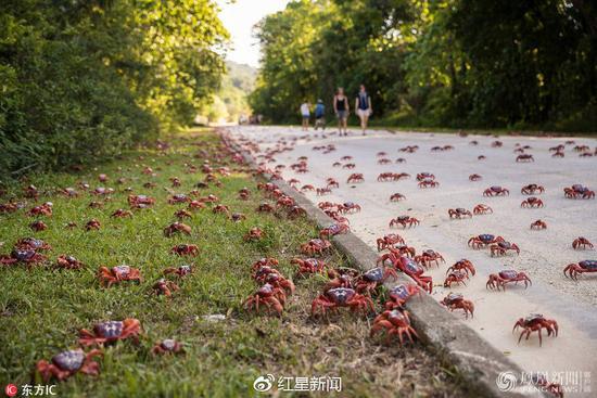 红蟹大迁移 图据网络