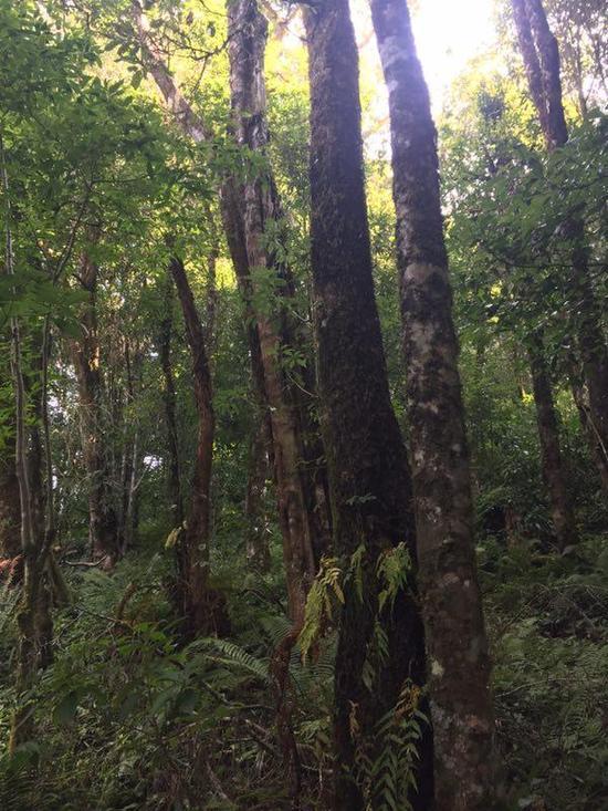 长臂猿栖息地,古木参天。
