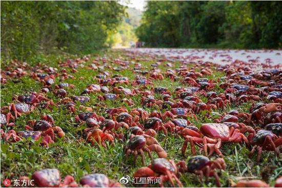 圣诞岛迎来了一年一度的红蟹大迁徙 图据网络