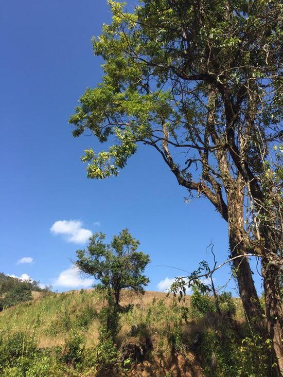 一些光秃秃的山头,隔断了长臂猿栖息地的连贯性。