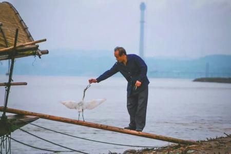 伤愈后的白鹭以渔船为家。
